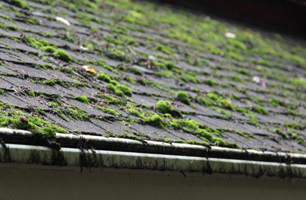 moss growing on asphalt roof